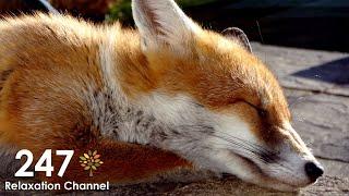 Fox Cub Playing In Garden, Pet Fox #1