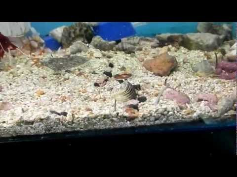WHY YOU NEED NASSARIUS SNAILS IN YOUR SALTWATER TANK