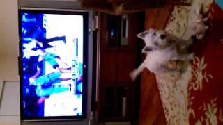 Westie Dog Watches Dallas Mavericks
