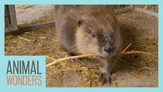 Huckleberry the Beaver Gets Clean