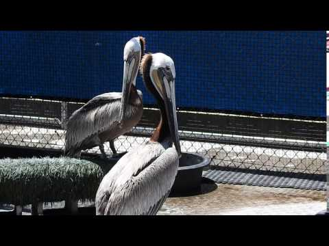 Brown Pelicans Being Rehabilitated At The Wetlands And Wildlife Care Center