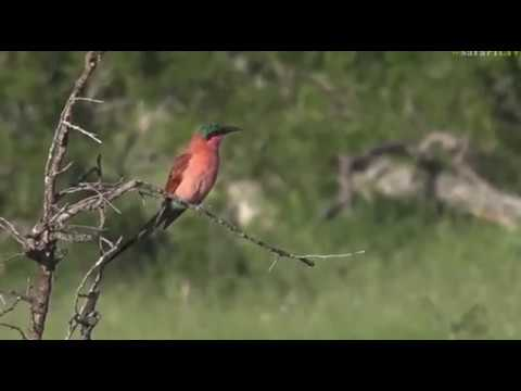 Feb 03, 2017- A shiny Carmine Bee Eater with Jamie Paterson