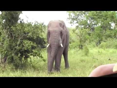 Jock Lodge Elephant eats amarula