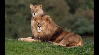 Lion VS Lioness,  Mysore Zoo