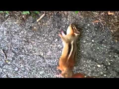 chipmunk kill #2 with crossman air rifle