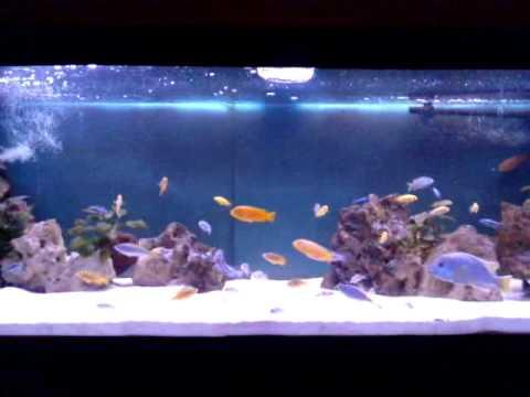 Malawi Tank Pyszczaki Akwarium 375 L Youtube