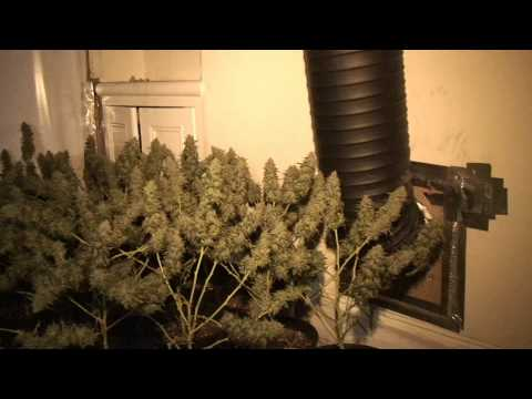 Vietnamese cannabis factory with up to 600 'skunk' plants in Stoke, Plymouth, Devon HD