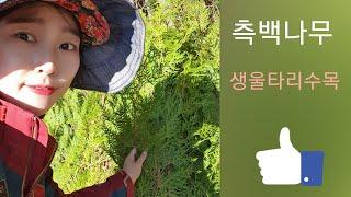 바깥 울타리 상록수 측백나무 -  신라조경농원