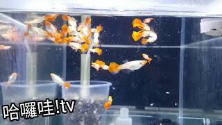 """自繁殖""""孔雀魚""""丹頂紅白子 新種公母記錄影片"""