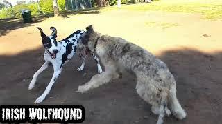 #Irish wol fhound #dog #dogs