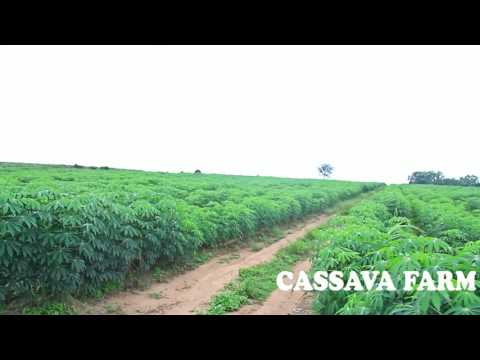 Niji farm Cassava Plantation
