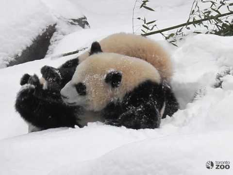 Toronto Zoo Giant Panda Cubs In The Snow