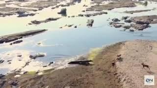 crocodile vs hippo dogs ក្រពើខាំដំរីទឹកនិងចចក