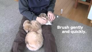 "Dog Training 9  ""to Keep Teeth Clean"" toy Poodle Mocha / Jpn"