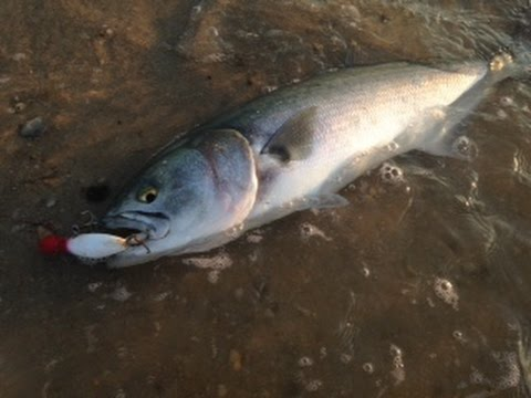 Topwater Bluefish Fishing In Delaware May 2015