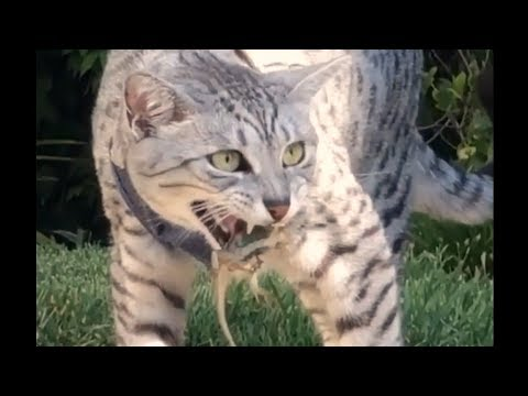 Brave Egyptian Mau Cat Catching lizard