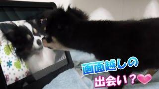 【愛犬チワワ】リクが画面越しの犬に興味津々♪反応が可愛すぎ!! 良か...