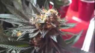 Gorilla Glue #4 & BTY OG *Day 37* Defoliation for max yield