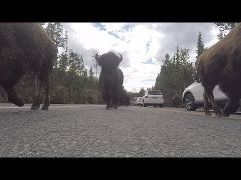 Why You Need a GoPro - Bison Herd From Ground Level!! Yellowstone