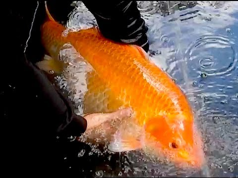 Solar thermal geothermal large pond heating with giant koi for Biggest koi fish