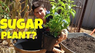 How to Grow Stevia Plants in Containers!
