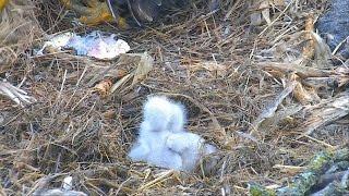 decorah north nest eagles 04 04 2017 11 57am mom fed dnn4 dnn5 and loosened the hay
