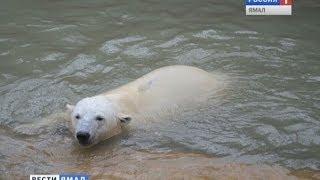 Белый медвежонок Сэрику освоился в зоопарке города Перми