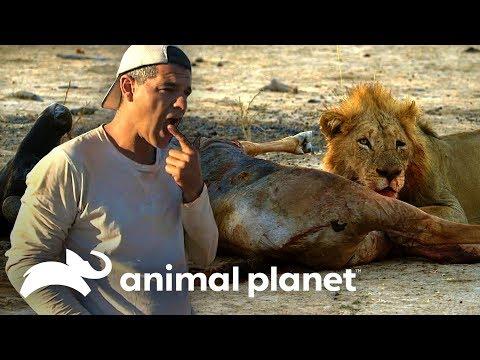 Frank prueba carne de una presa de un león | Wild Frank en África | Animal Planet