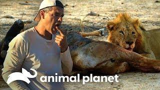 frank-prueba-carne-de-una-presa-de-un-len-wild-frank-en-frica-animal-planet