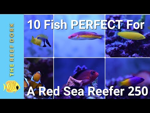 EASY, Reef-Safe, Peaceful Fish For A Red Sea Reefer 250