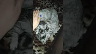 Британские котята. Скоттиш-страйт, во сне, маленькие сплюхи)