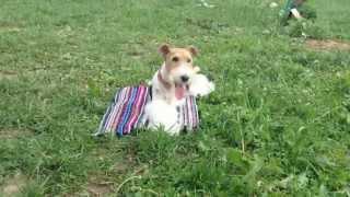 Smart fox terrier Taffy/ Собака показывает трюки