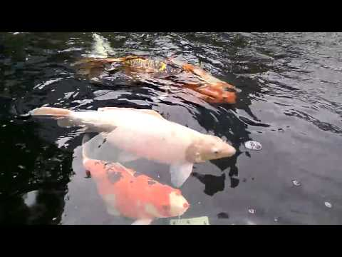 Jumbo Koi Fish at Central Park Jakarta