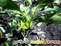 A guide to growing Healthy Organic Peppers : Agrosuede
