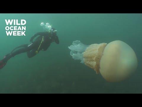 Gb, l'incontro con la medusa gigante: 'Grande come una persona'