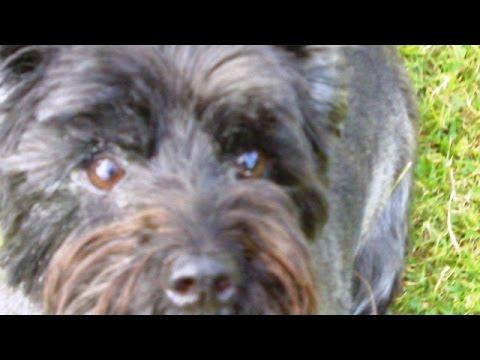 Cairn Terrier Fantastic Fergus mooching.