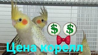 Попугай корелла цена