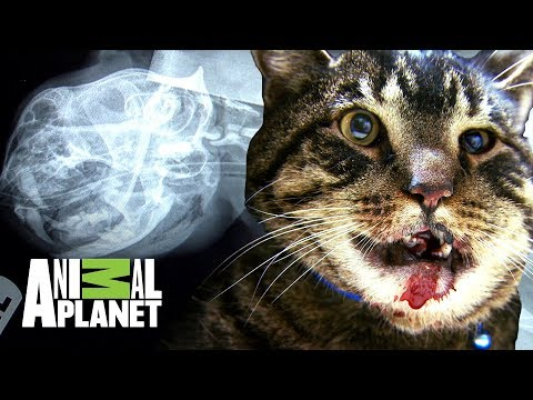 ¡El Gato, Chubbs, En Alto Riesgo! | Dr. Jeff: Veterinario | Animal Planet