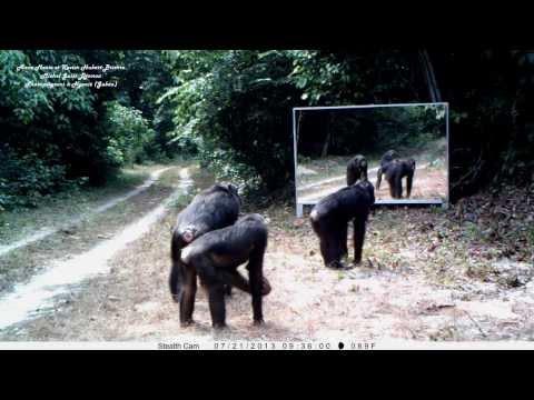 Female chimpanzees' fascination with mirror incenses male - chimpanzé frappe le miroir des femelles