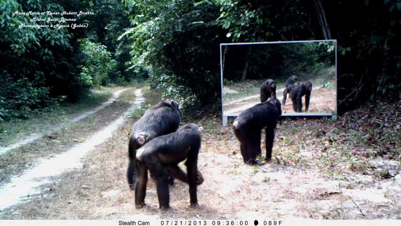 Female chimpanzees 39 fascination with mirror incenses male for Devant le miroir