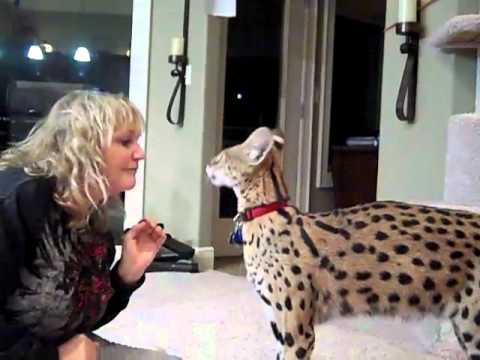 Kyan the Serval and his mom Linda