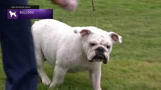 Bulldog | Breed Judging 2021