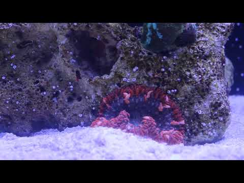 Sexy Shrimp Nano Reef update - added anemones & Sexing Sexy shrimp