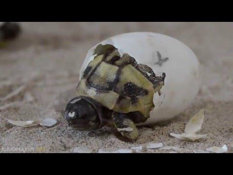 Schlüpfen Griechischer Landschildkröten / Greek tortoise hatching