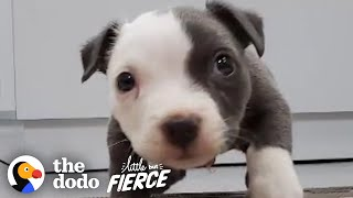 Teeny Swimmer's Syndrome Puppy Who Was Flat As A Pancake Learns To Run | The Dodo Little But Fierce