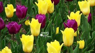 Тюльпаны и Красивая Романтическая Музыка для настроения!