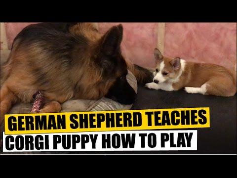 German Shepherd Teaches Corgi Puppy How To Play