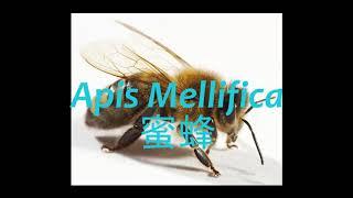 《靈丹妙藥的同類療法》- EP005 - 蜜蜂 Apis Mellifica