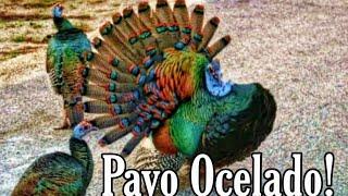 Un Arcoíris hecho Pavo! 🌈🦚🤯 Wow mira que belleza.😍 (Pavo Ocelado)