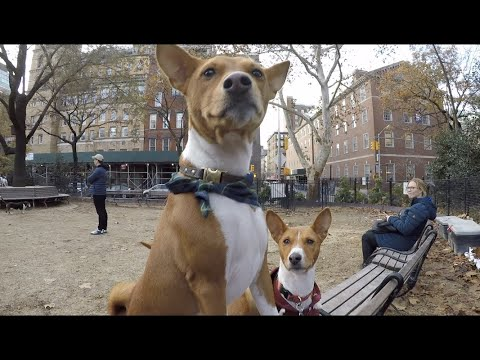New York City Basenji Gathering - 25 November 2018 - A Series of Small Tussles